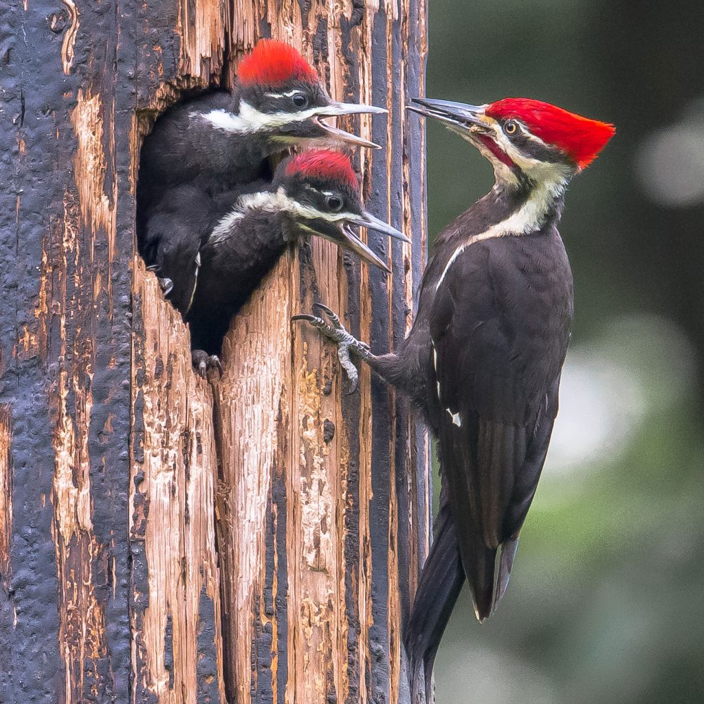 A male Pileated Woodpecker feeds two fledglings at the entrance of their nest. Credit to Fai Chan.
