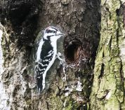 A cutout image of a male downy woodpecker is affixed to the trunk of a large tree at the Kellogg Bird Sanctuary.