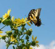 A Tiger Swallowtail butterfly, mostly yellow with black, orange and blue markings, perches on a yellow bloom. Credit to Kimberly Ginn.