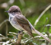 An Eastern Phoebe, a brown-grey bird with a long tail, perches on a branch. Credit to Jack Bulmer.
