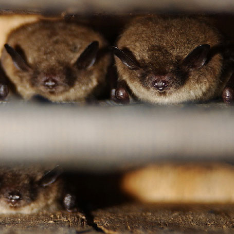 Brown bats take shelter together inside a bat house. Credit to Phil Myers.