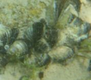 A cluster of invasive zebra mussels sits on the sandy floor of Gull Lake.