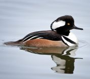 A Hooded Merganser duck swims through calm waters in Wintergreen Lake at the Kellogg Bird Sanctuary. Credit to Rick Viel.