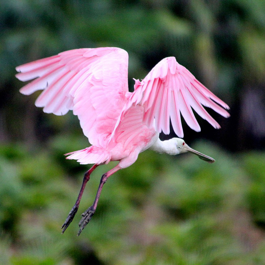 A Roseate Spoonbill flies with outstretched legs against a blurred green background.