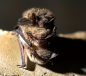 A trio of brown bats huddle on a stone surface.
